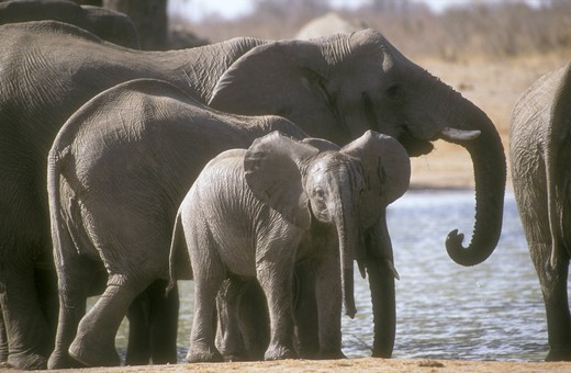 African Elephant (Loxodonta africana) with young, Hwange, Zimbabwe : Stock Photo