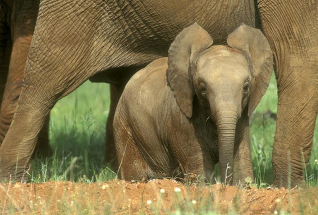 Stock Photo: 4179-18639 African Elephant Baby under adult - Samburu GR Kenya (Loxodonta africana)