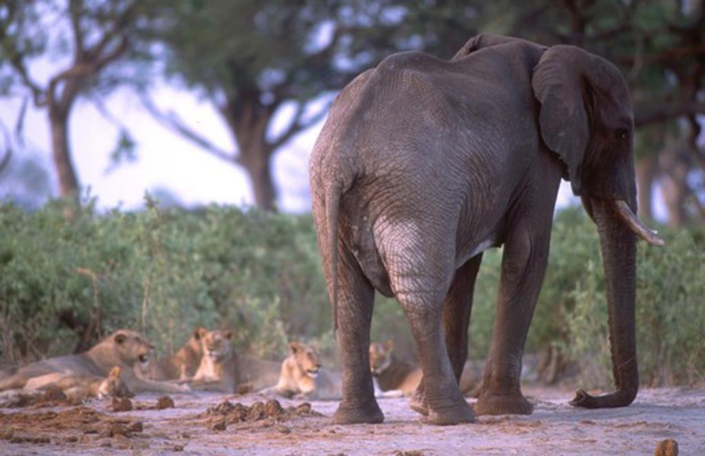 Stock Photo: 4179-18675 Elephant next to a large pride of lions -  Savuti National Park - BOTSWANA