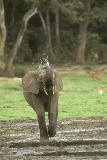 Stock Photo: 4179-18679 Forest Elephant (Loxondonta africana cyclotis) Dzanga Ndoki NP, Cent African Rep