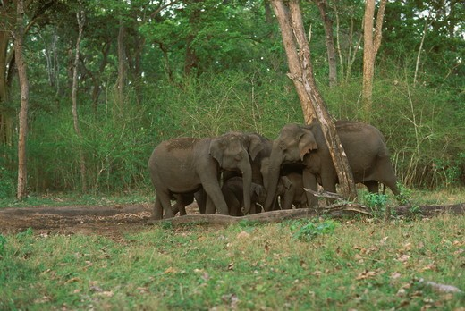 Stock Photo: 4179-18725 Indian elephants eating salt, Elphas maximus, Bandipur India