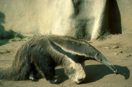 Stock Photo: 4179-18768 Giant Anteater (Myrmecophaga tridactyla) San Diego Zoo/California