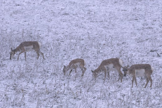 Pronghorn (Antilocapra americana) Does and Fawns in Fall Snowstorm : Stock Photo