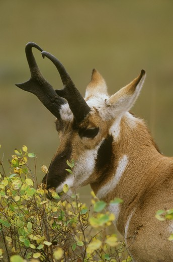 Stock Photo: 4179-18881 Pronghorn (Antilocapra americana) Buck and Autumn Foliage, Montana