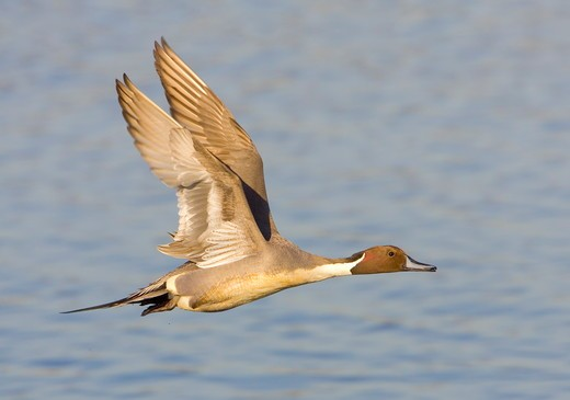 Stock Photo: 4179-1905 Northern Pintail (Anas acuta) Orange County, California, USA