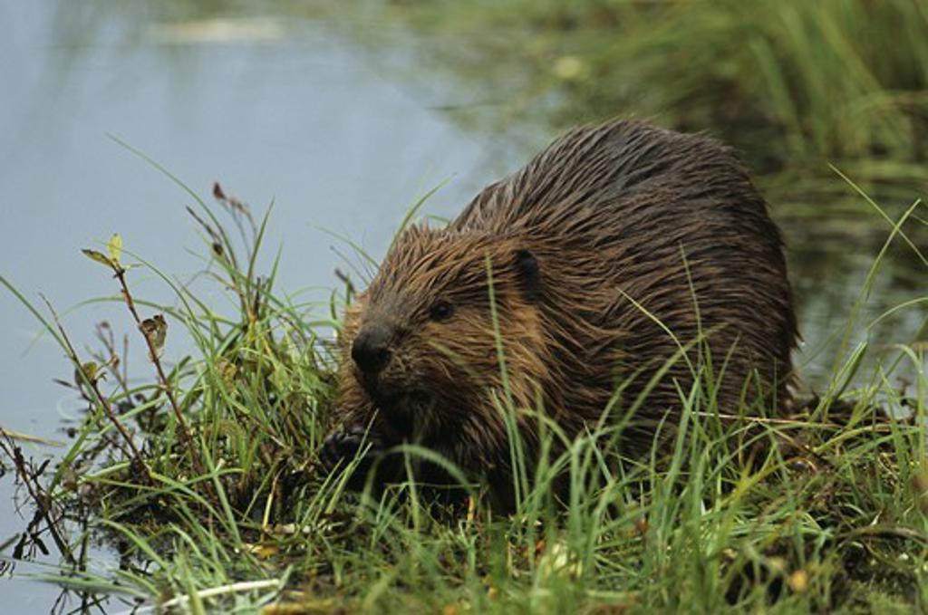 N.A. Beaver near Pond (Castor canadensis), Denali NP, Alaska : Stock Photo