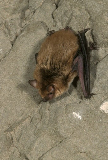 Stock Photo: 4179-19169 Big Brown Bat  (Eptesicus fuscus) S. Arizona ASDM