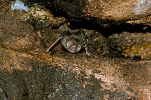 Vampire Bat (Desmodus rotundus) Mexico to No. Argentina : Stock Photo