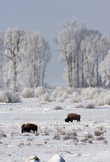Stock Photo: 4179-19504 Bison (Bison bison) in Yellowstone National Park
