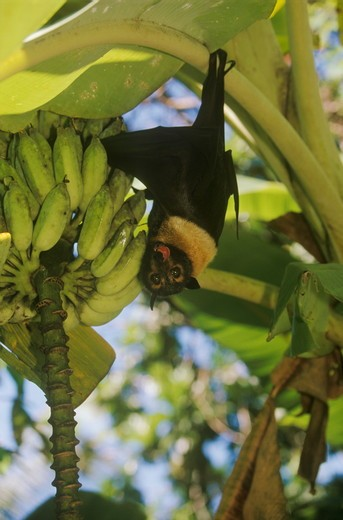 Stock Photo: 4179-19512 Spectacled Flying Fox Bat (Pteropus conspicillatus) in banana tree - Australia rainforest