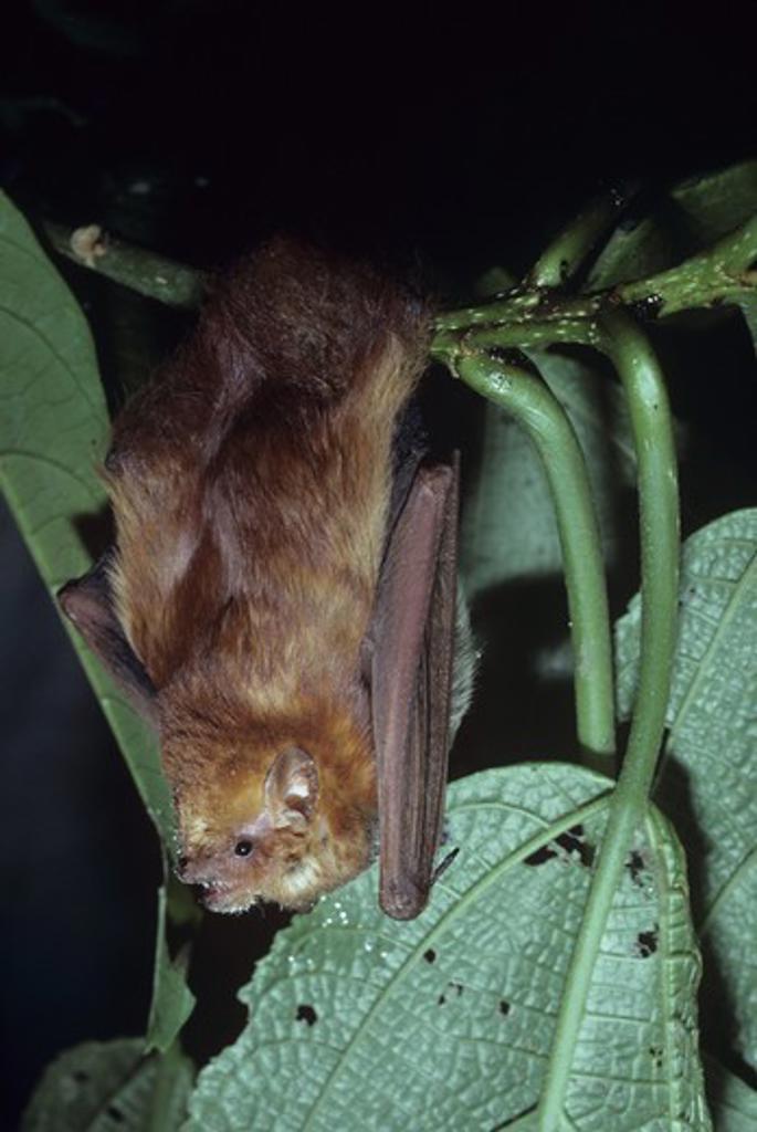 Red Bat (Lasiurus borealis) Monteverde, Costa Rica : Stock Photo