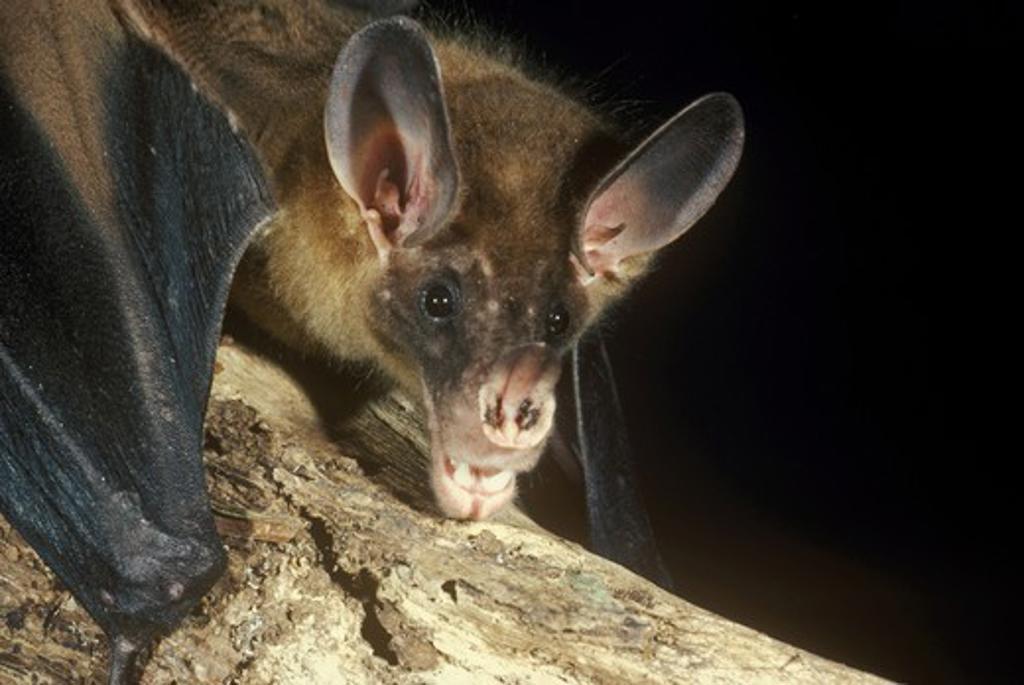 Stock Photo: 4179-19518 False Vampire  (Vampyrum spectrum) Monteverde, Costa Rica