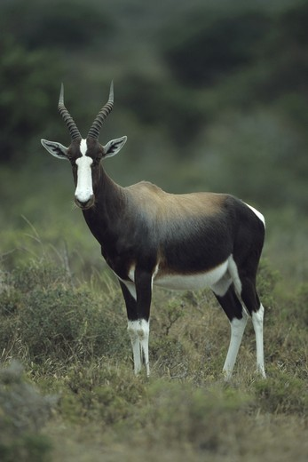 Stock Photo: 4179-19531 Bontebok (Damaliscus dorcas)