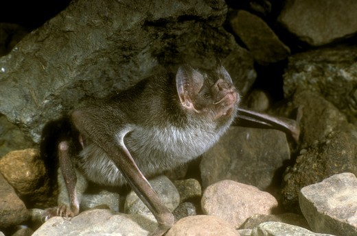 Common Vampire Bat (Desmodus rotundus) Phyllostomidae : Stock Photo