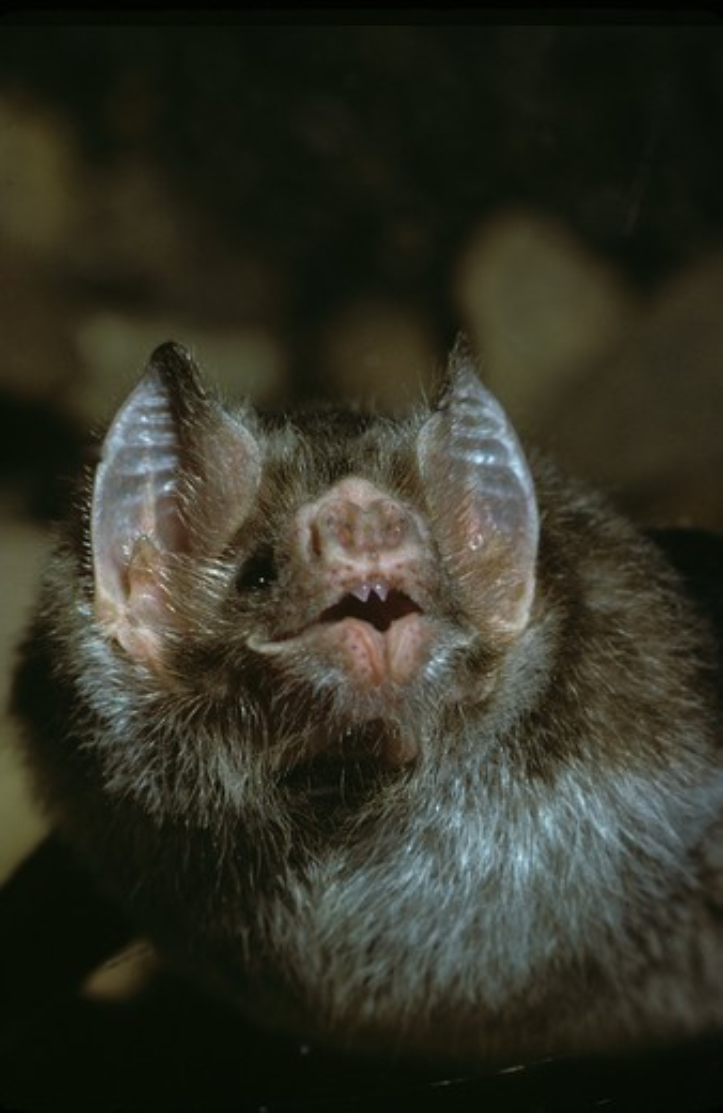Stock Photo: 4179-19557 Common Vampire Bat (Desmodus rotundus)