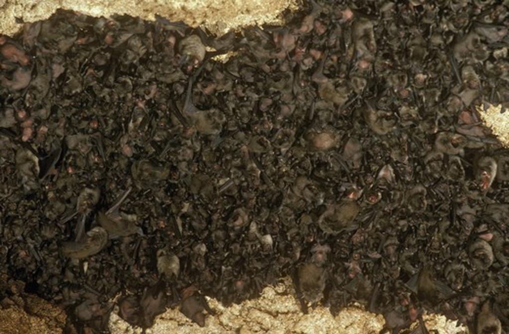 Gray Myotis Bat (Myotis grisescens) Tennessee : Stock Photo
