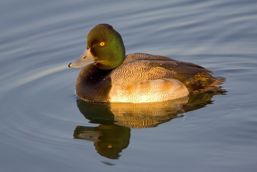 Lesser Scaup male (Aythya affinis) Orange County, California, USA : Stock Photo