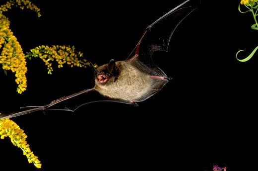 Little Brown Bat in Flight (Myotis lucifugus) Central PA           July : Stock Photo