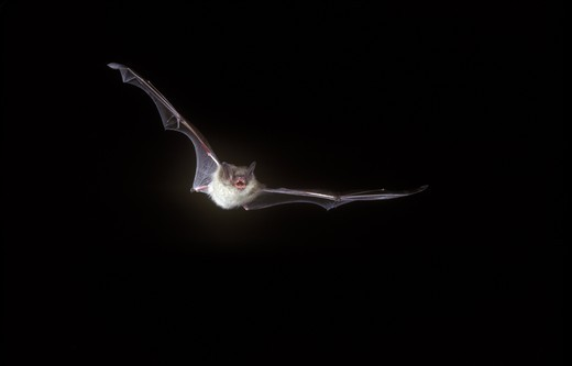 Little Brown Bat (Myotis lucifugus) in flight, PA : Stock Photo