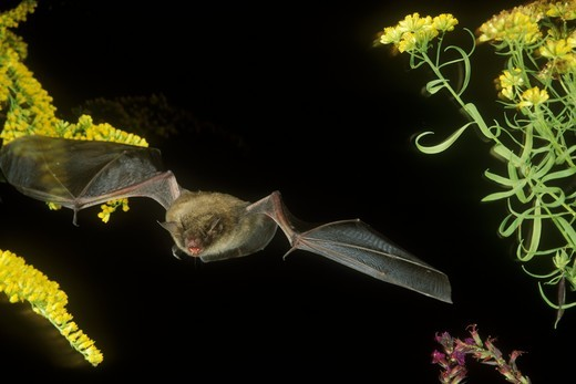 Stock Photo: 4179-19614 Little Brown bat (Myotis lucifugus), in flight, Pennsylvania