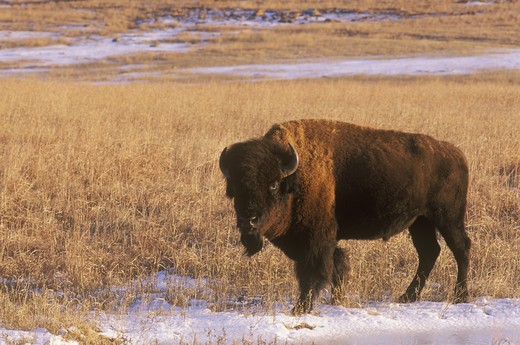 Stock Photo: 4179-19782 Bison in Snow covered Field, Wichita Mts NWR, OK, Oklahoma
