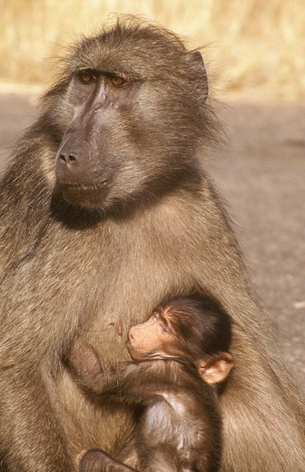 Chacma Baboon w/ young (Papio ursinus) S. Africa : Stock Photo