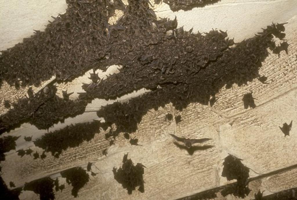 Indiana Bat, Kentucky, Endangered Species : Stock Photo