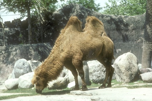 Stock Photo: 4179-20038 Bactrian Camel, Gladys Porter Zoo, Brownsville, TX