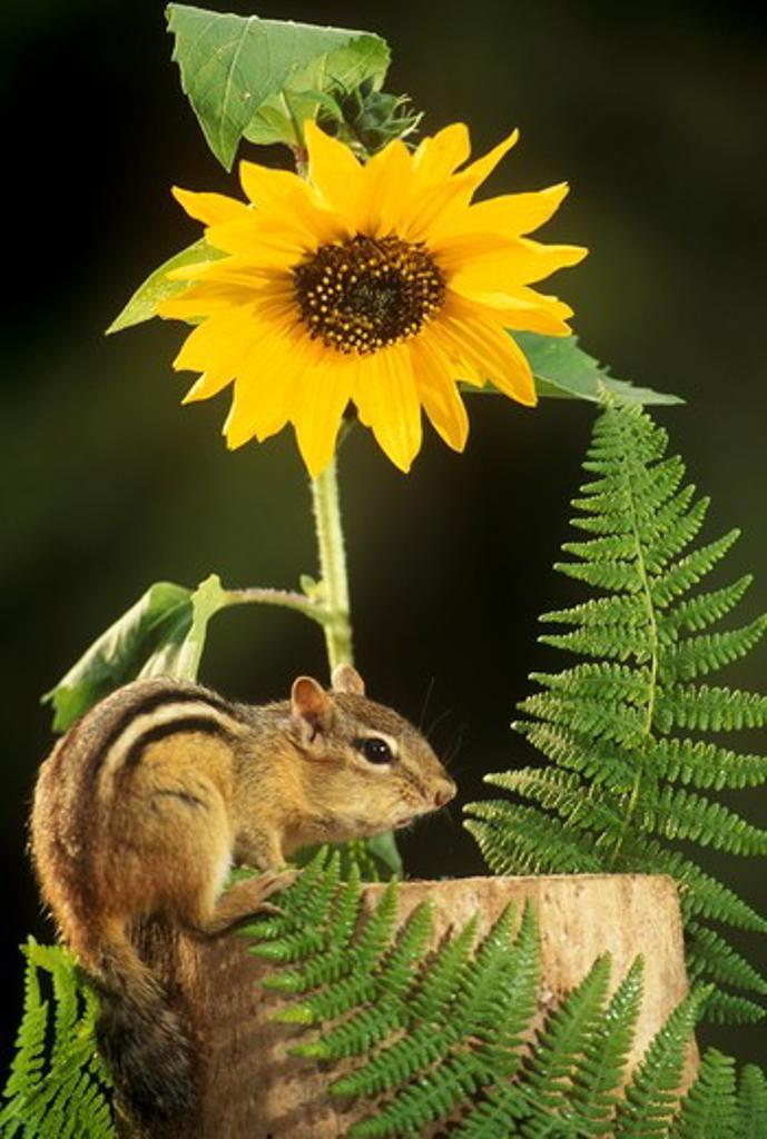 Stock Photo: 4179-20090 Eastern Chipmunk w/ sunflower (Tamias striatus) Vermont