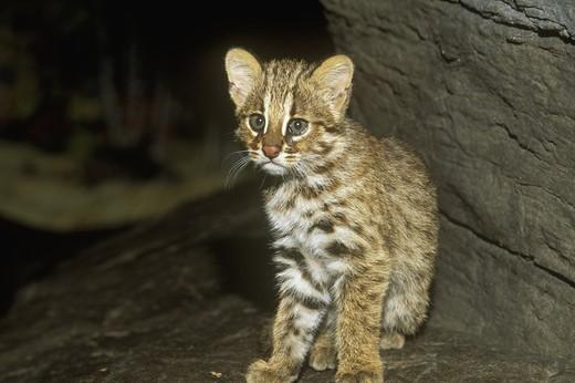 Amur Leopard Cat Cub - 2 mth (Felis bengalensis euptilura) Siberian . China : Stock Photo