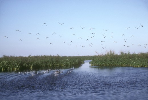 Stock Photo: 4179-2030 Blue-winged Teal & Coots Take off Marsh Pond Delta NWR - Louisiana