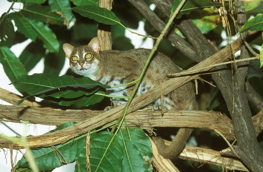 Stock Photo: 4179-20401 Rusty-spotted Cat (Prionailurus rubiginosus) in Tree