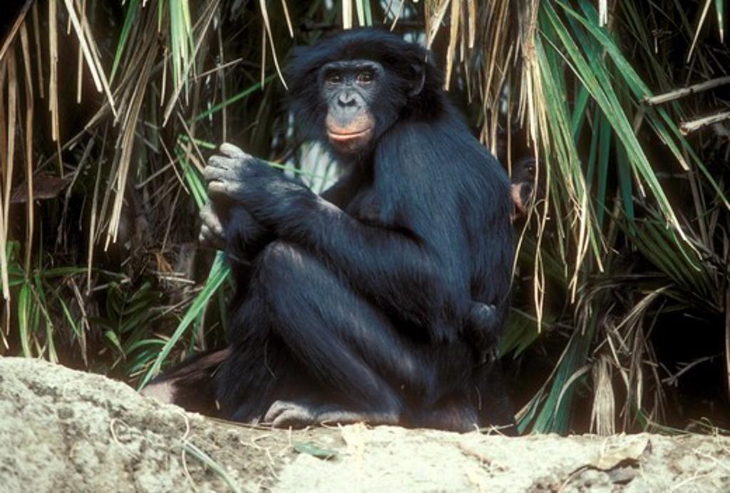 Bonobo or Pygmy Chimpanzee (Pan paniscus) San Diego Zoo : Stock Photo