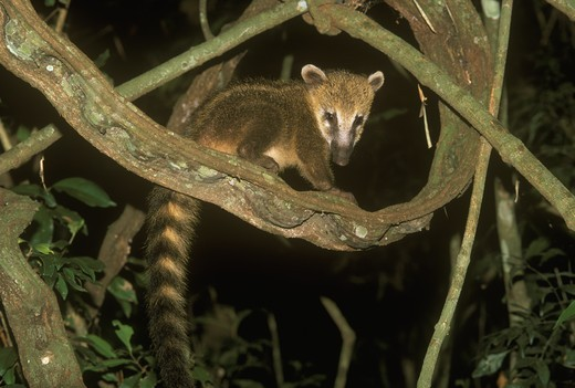 South American Coati Baby (Nasua nasua) 4 months Iguazu NP - Argentina : Stock Photo