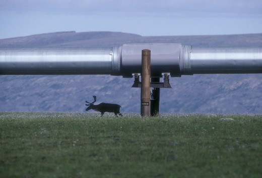 Stock Photo: 4179-20541 Barren Ground Caribou Bull Under Alaskan Pipeline