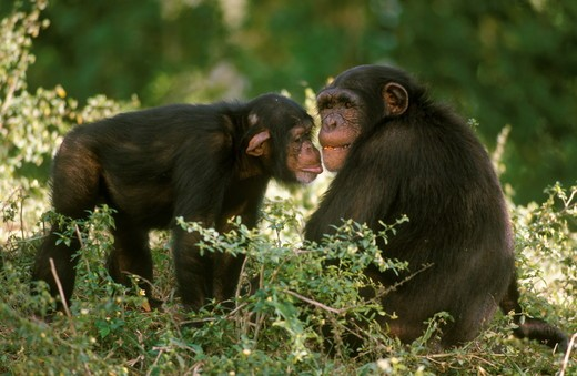 Stock Photo: 4179-20579 Chimpanzee (Pan t. troglodytes), Pair Social Behavior