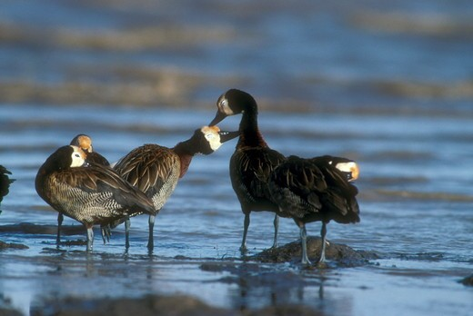 White-Faced Whistling Ducks (Dendrocygna riduata) Lake Baringo - Kenya allopreening : Stock Photo