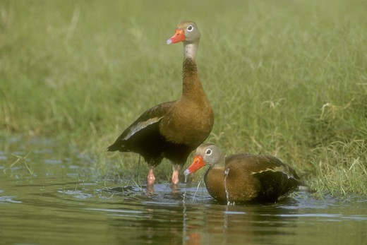 Black-bellied Whistling Ducks (Dendrocygma autumalis),  Rio Grande Valley, TX, Texas : Stock Photo
