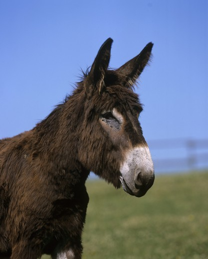 Poitou Donkey : Stock Photo