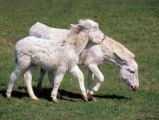 Stock Photo: 4179-20910 Hungarian White Donkeys, bold youngster trying to bite mare, playful Lake Neusiedl National Park, Austrian-Hungarian border
