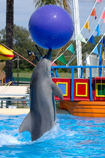 Indo-Pacific Bottlenose Dolphin balancing ball, Pet Porpoise Pool, Coffs Harbour, New South Wales, Australia, Marine mammal rescue center and show place, April, Interactive marine mammal show, rescued and captive-born animals only, note scars from being c : Stock Photo