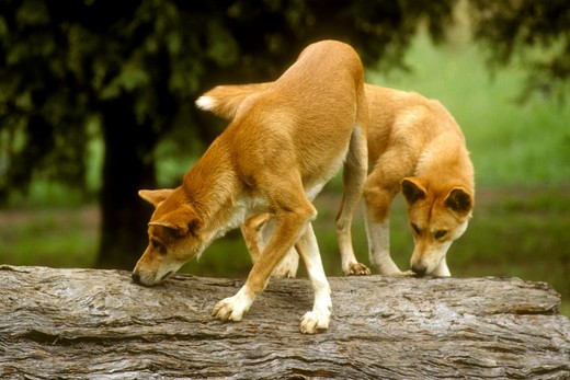 Australian Pure Dingo (Canis familiaris dingo) Australia : Stock Photo