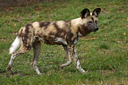Stock Photo: 4179-20981 African Wild Dog (Lycaon pictus) adult,  Africa