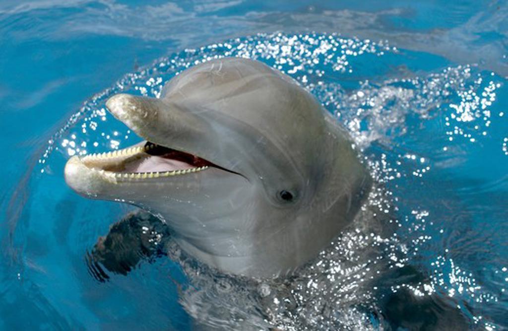 Bottlenose Dolphins Roatan, Honduras : Stock Photo