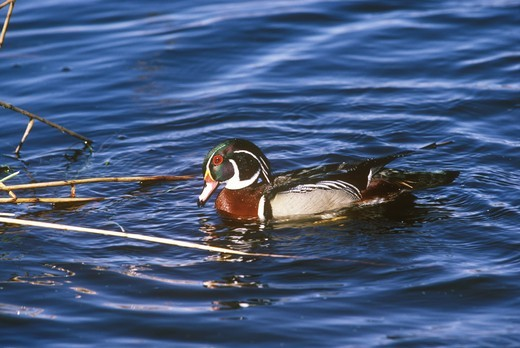 Stock Photo: 4179-2104 Wood Duck, Male (Aix sponsa) Lower Michigan