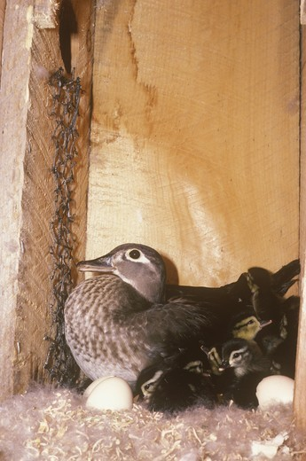 Wood Duck female w/ babies & eggs (Aix sponsa) MN : Stock Photo