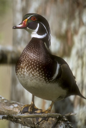Stock Photo: 4179-2131 Wood Duck (Aix sponsa) Male on Bald Cypress, Atchafalaya Basin, Louisiana