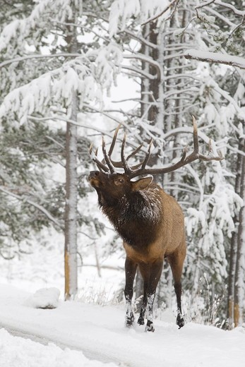 Elk (Cervus elaphus), bull portrait in fall snow,  Yellowstone National Park, Wyoming : Stock Photo