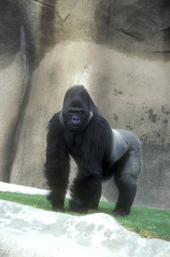 Stock Photo: 4179-21769 Lowland Gorilla - California (Gorilla gorilla gorilla) Wild Animal Park, San Diego