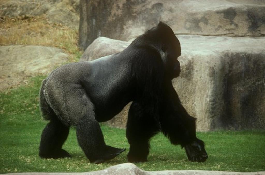Stock Photo: 4179-21770 Lowland Gorilla (Gorilla gorilla gorilla) Wild Animal Park, San Diego, California